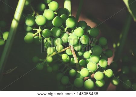 Green unripe grapes in sunlight on a wine in the garden