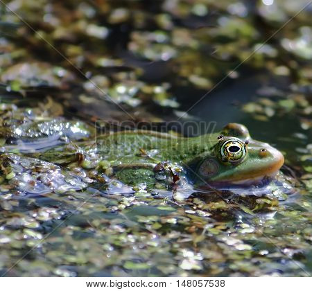 Green frog swimming in the pond with duckweed.