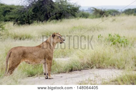 Lovely lioness gracefully standing in the savannah at a park Tarangire, Tanzania
