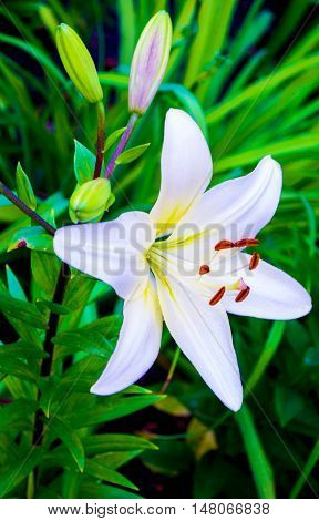 white lily. lilies. madonna lilywhite lilyflowers springlily on whitewhite flowerswhite petalslily flowers against fenceamazing white flowersspring flowers. lily white