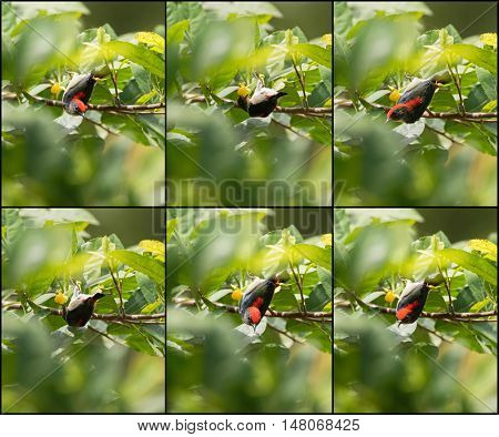 Collage set of Scarlet backed Flowerpecker bird on tree eating yellow berry in garden during the summer in Thailand, Asia (Dicaeum cruentatum)