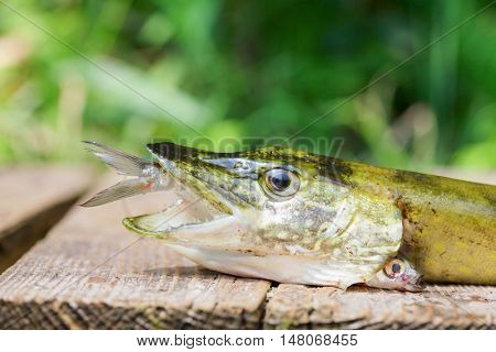 Northern pike with bait fish in its mouth