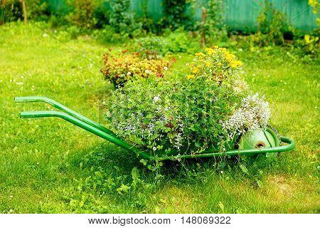 decorative garden wheelbarrow with bunch of plants on green grass background