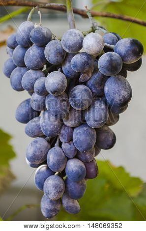 Cluster Of Violet Grapes On A Branch