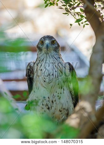 Long-Legged Buzzard - Buteo rufinus - is sitting on a tree and looking out for prey