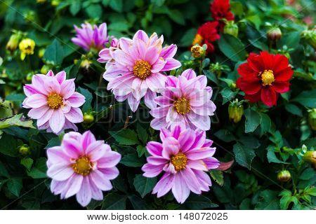Flowers in the flowerbed, macro flower natural