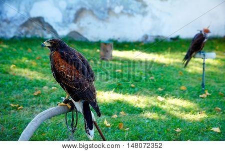 beautiful bird of prey, common buzzard, sitting on setting pole