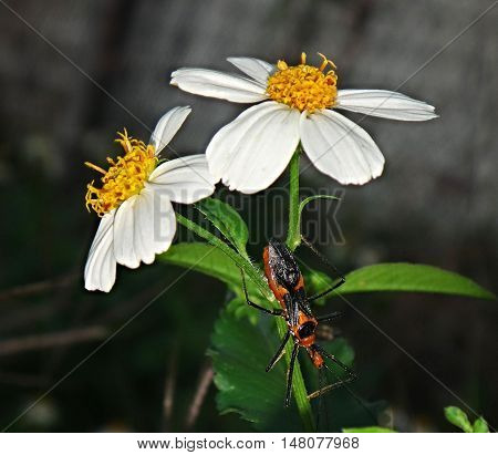 milkweed assassin bug climbing on two white flowers