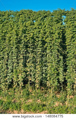 Detail of hop field befor harvestCzech Hops