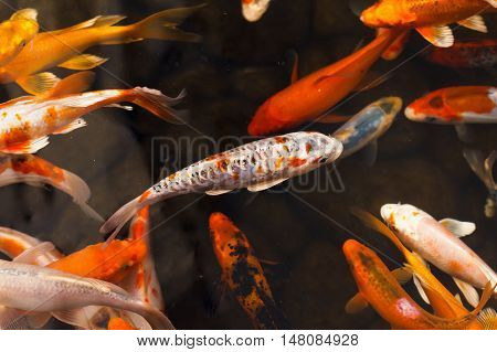 Colorful goldfish Japanese koi carp swimming in the pond