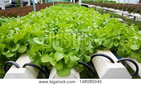 Farm Turnip Greens Organic hydroponic growing vegetables without soil
