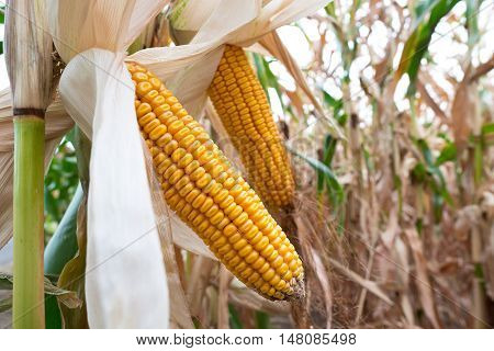 detail of maize field before harvest in the summer day