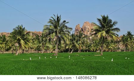 Landscape in Hampi India. Green rice paddy palms and granite mountain.