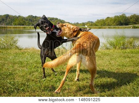 Two mutts play fighting dramatically together with teeth bared
