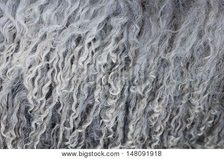 Fluffy curly softness gray wool texture closeup