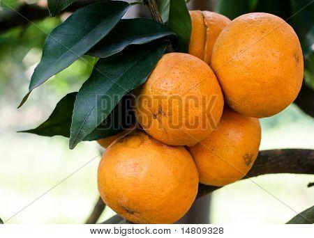 Oranges on the tree