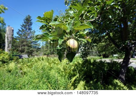 An apple ripens in an apple tree (Malus pumila) in Harbor Springs, Michigan during August.