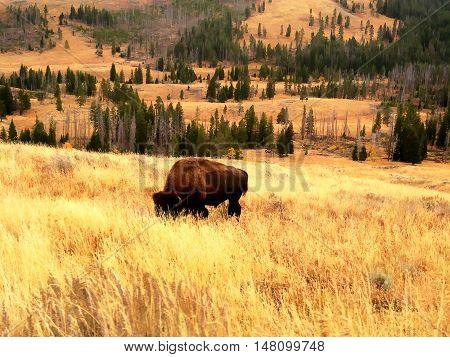 Buffalo grazing on yellow meadows in Yellowstone National Park (Wyoming, USA)