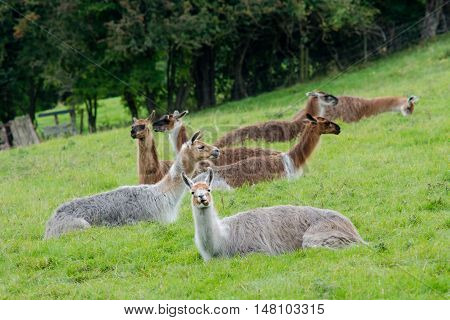Herd of llamas sitting grazing in field. Domesticated camelids raised for wool chewing cud and eating grass in British countryside
