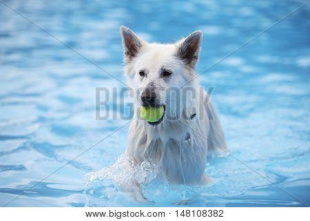 White Shepherd dog fetching tennis ball in swimming pool blue water