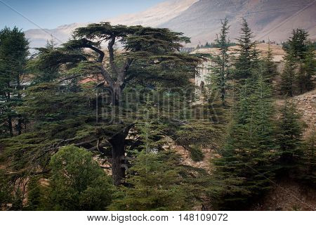Old cedar forest in the Bsharri, Lebanon.