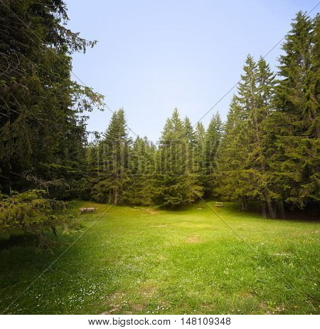Grass glade in spruce forest.