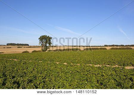 Potato Crop In Late Summer