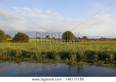 Livestock Beside A Canal
