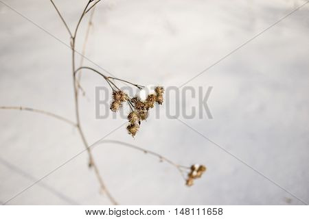 dry burr buds by winter; selective focus on plant