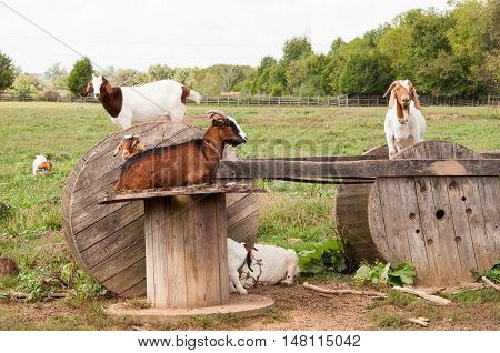 Boer goats like to climb and rest on these wooden spools.