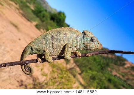 Chameleon Walking On A Branch In An African Landscape