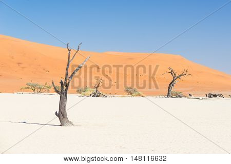 The scenic Sossusvlei and Deadvlei clay and salt pan with braided Acacia trees surrounded by majestic sand dunes. Namib Naukluft National Park main visitor attraction and travel destination in Namibia.