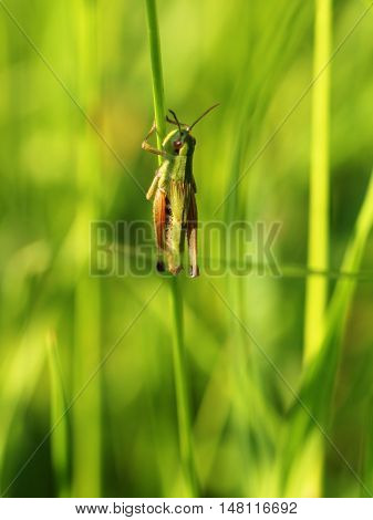 green Grasshopper in the meadow, on a blade of grass