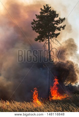 Forest fire. a huge pine tree in fire