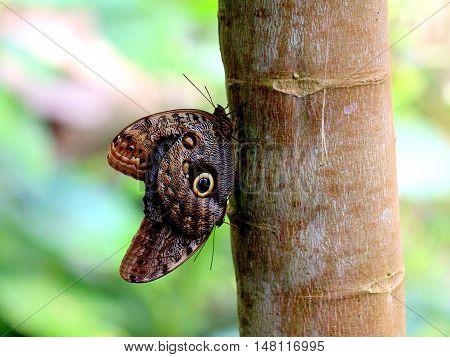 Two Caligo Atreus Butterflies on a tree