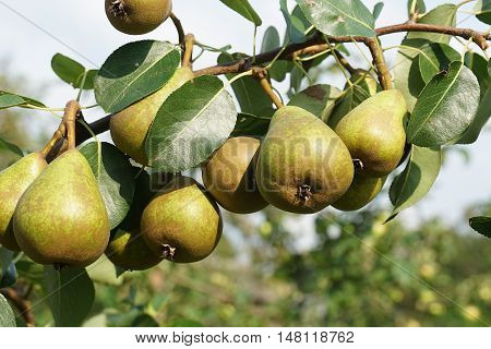 pears, organic, branch, pear, background, nature, healthy, juicy,