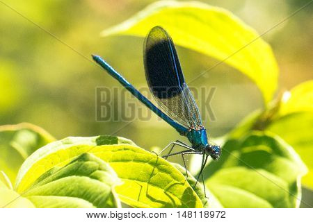 Broad-winged Damselfly Dragonfly on a leaf with green background