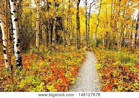 Vibrant Autumn Leaves Of An Aspen Forest In Canada With Hiking Trail