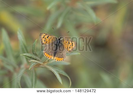 Small Copper (Lycaena phlaeas) resting on Common Sea Buckthorn (Hippophae rhamnoides)