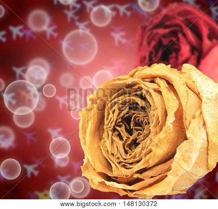 beautiful dry white and red rose on bubble with blur airplane bokeh background