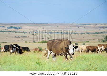 cow and herd in a field on feeding