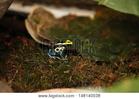 Exotic tiny blue yellow colored frog close reptile 2
