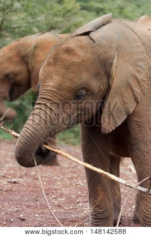 Orphaned Young Elephant Playing with a Stick