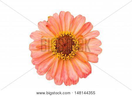 Isolated Zinnia spring Flower on white background
