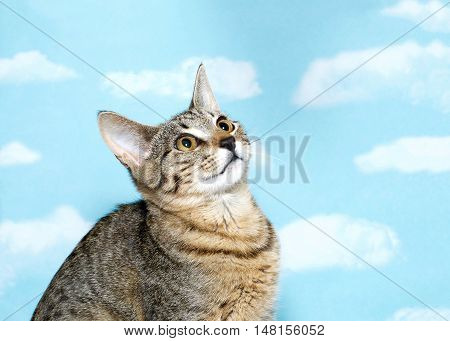 Portrait of a Black brown and white tabby kitten with long thin ears looking up and to viewers right. Profile view. Blue background sky with white clouds. Copy space.
