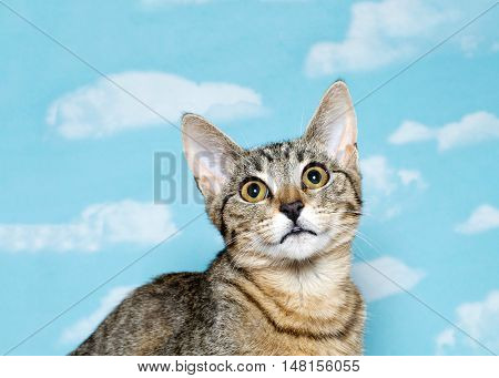 Portrait of a Black brown and white tabby kitten with long thin ears looking up above viewer. Blue background sky with white clouds. Copy space.