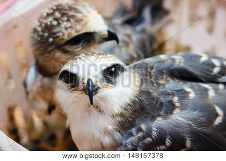 Portrait of a young falcon bird in a basket