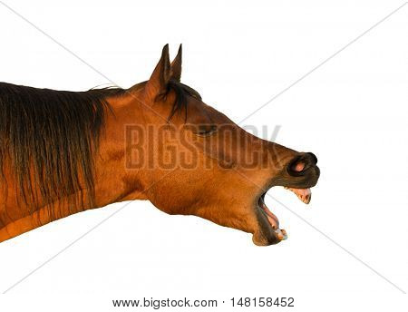 Side view of a yawning red bay horse; isolated on white