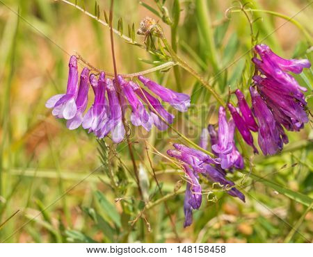 Small flower clusters of a Common Vetch, Vicia, in summer sun