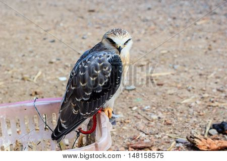 young falcon bird Sitting on a basket